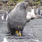 Тюлени все по-често изнасилват пингвини (видео)