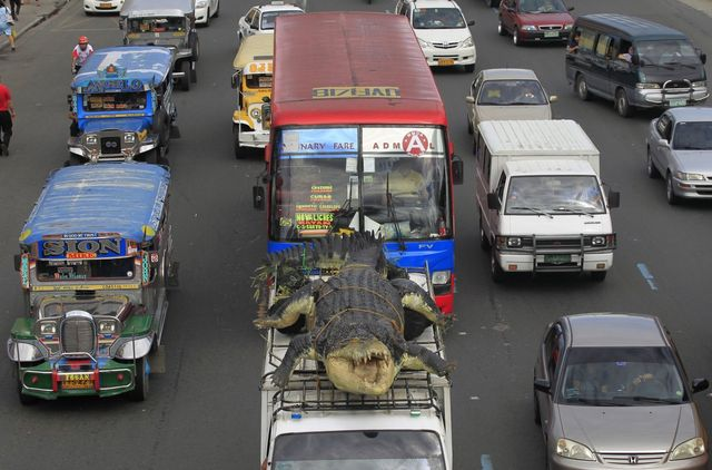 a-21-foot-crocodile-robot-longlong-is-strapped-to-the-top-of-a-fan-to-be-transported-to-crocodile-park-in-manila-philippines-in-july-the-robot-was-inspired-by-lolong-the-largest-saltwater-crocodile-in-ever-been-captivity