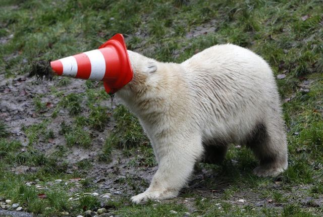a-polar-bear-plays-with-a-pylon-during-celebrations-marking-its-first-birthday-in-an-enclosure-at-tierpark-hellabrunn-zoo-in-munich-germany-on-dec-9