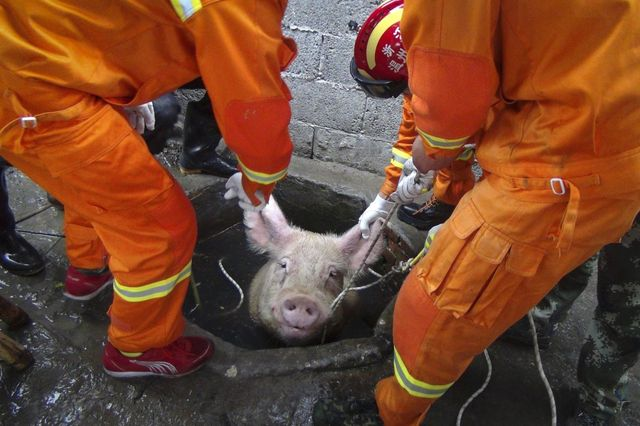 firefighters-pull-a-pig-from-a-well-on-a-pig-farm-in-lequing-china-seven-firefighters-successfully-rescued-the-661-pound-pig-in-april