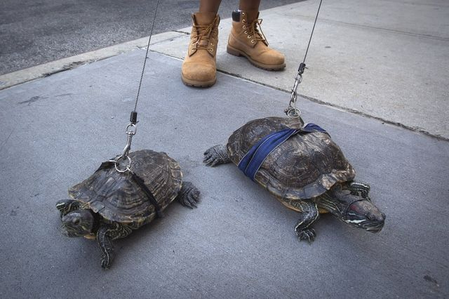 resident-chris-roland-walks-his-pet-turtles-cindy-and-kuka-in-new-york-city-on-aug-4-roland-has-had-the-turtles-for-years-and-says-he-walks-them-daily
