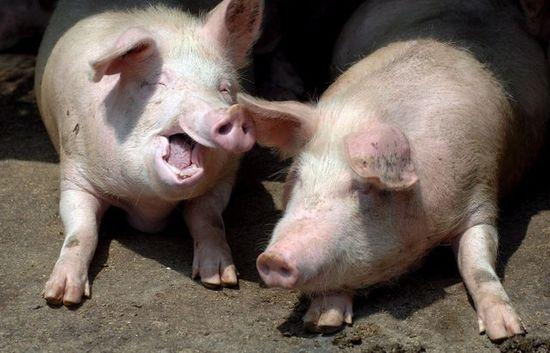 Японски учени  обещават да отглеждат човешки органи в телата на свине