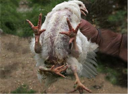 Rumour-Chickens-With-Four-Legs