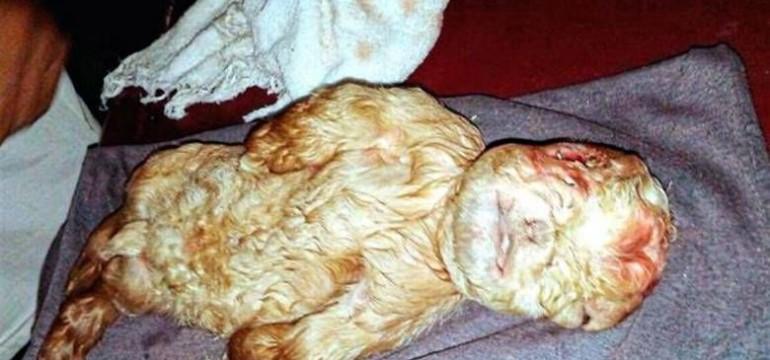 Козле с човешко лице се роди в Майзия