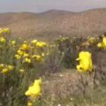 Мистерии: В Чили разцъфна пустинята Атакама (видео)