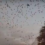 Aпокалиптично по Хичкок: Пълчища черни птици атакуваха град в американския щат Тексас (видео)