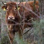 """Фантастично: """"Героичната"""" крава Хермиена избяга от кланицата и сега се крие в гората (видео)"""