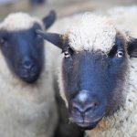 Учени кръстосаха човек и овца!
