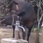 Невероятно: Крава се научи да използва ръчна помпа за вода!  (видео)
