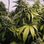 Канада тотално легализира марихуаната