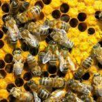 Ето какво ще изчезне завинаги, ако изчезнат пчелите!