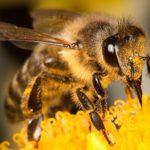Британският ентомолог Джордж Макгавин: Съдбата на човечеството изцяло зависи от пчелите!