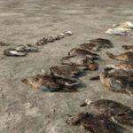 Апокалиптично: Хиляди птици мистериозно измират в Индия! (видео)