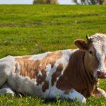 The Times: Кравите могат да разговорят помежду си...