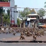 Стотици гладни маймуни вилнеят по улиците на Тайланд (видео)